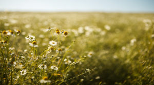 Chamomile meadow